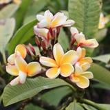 Gelbe Kaktus-Blume Stockbilder