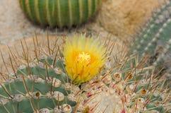 Gelbe Kaktus-Blume stockbild