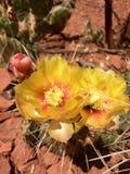 Gelbe Kaktus-Blume Stockfotos