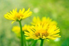 Gelbe Kamillen-oder Ringelblumen-Blumen auf Gras Stockfotos