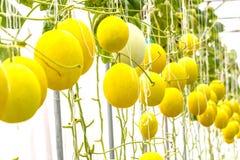 Gelbe Kantalupenmelone, die in einem Gewächshaus wächst Stockfotos
