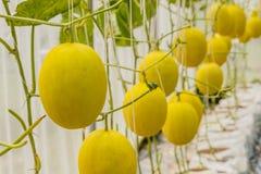 Gelbe Kantalupenmelone, die in einem Gewächshaus wächst Stockfotografie