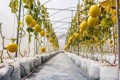 Gelbe Kantalupenmelone, die in einem Gewächshaus wächst Lizenzfreie Stockfotografie