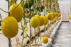 Gelbe Kantalupenmelone, die in einem Gewächshaus wächst Stockbilder