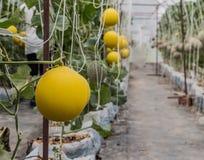Gelbe Kantalupenmelonen, die in einem Gewächshaus wachsen Lizenzfreies Stockbild