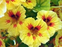 Gelbe Kapuzinerkäseblume im Sommergarten, Litauen lizenzfreie stockfotos