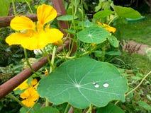 Gelbe Kapuzinerkäseblume mit Tropfen des Taus lizenzfreie stockfotografie