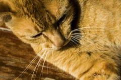 Gelbe Katze Stockbild