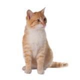 Gelbe Katze auf weißem Hintergrund Stockfotos