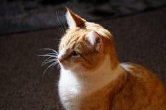 Gelbe Katze der getigerten Katze Lizenzfreie Stockfotos