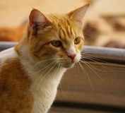 Gelbe Katze der getigerten Katze Stockfoto