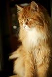 Gelbe Katzenahaufnahme lizenzfreie stockbilder