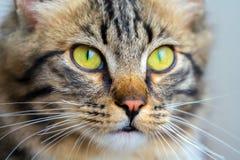Gelbe Katzenaugen und Mündung, Detailporträt einer Katze Lizenzfreie Stockfotografie
