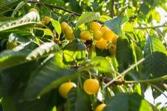 Gelbe Kirschen auf einer Niederlassung reife Kirschen auf einem Baumast gegen üppiges Laub auf dem Hintergrund Selektiver Fokus Lizenzfreie Stockfotos