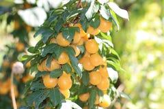 Gelbe Kirschpflaumen auf der Rebe Stockfoto