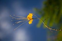 Gelbe kleine Blume der Kassie Stockfoto