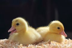 Gelbe kleine Enten lizenzfreie stockbilder