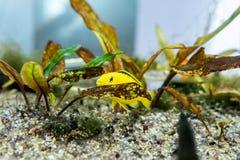 Gelbe kleine Fische, die auf Wasserpflanze sich verstecken stockbilder