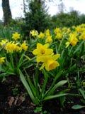 Gelbe kleine Narzisse gewachsen im Garten nach Regen Lizenzfreie Stockfotos