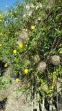 Gelbe Kletterpflanzen Lizenzfreies Stockfoto