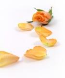 Gelbe Knospe und Blumenblätter Stockfoto