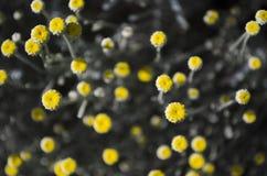 Gelbe Knospen auf grauen Stämmen Stockbilder