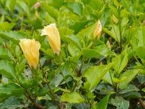 Gelbe Knospen einer Hibiscus- oder Rosen-Malvenanlage lizenzfreie stockfotos
