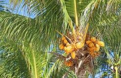 Gelbe Kokosnüsse lizenzfreie stockfotos