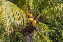 Gelbe Kokosnüsse auf einem Baum Lizenzfreie Stockbilder