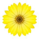 Gelbe konzentrische Daisy Flower Isolated auf Weiß. Mandala Design stockfotos