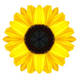 Gelbe konzentrische Sonnenblume Mandala Flower Isolated auf Weiß Lizenzfreie Stockfotos