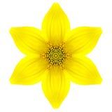 Gelbe konzentrische Stern-Blume lokalisiert auf Weiß. Mandala Design Stockfoto