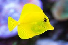 Gelbe korallenrote Fische schließen oben Lizenzfreie Stockfotografie