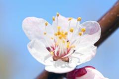 Gelbe Kornelkirsche-Blume Lizenzfreies Stockfoto