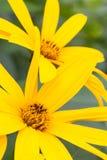 Gelbe Kosmos-Blume Lizenzfreies Stockfoto