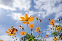 Gelbe Kosmosblume stockfoto