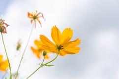 Gelbe Kosmosblume lizenzfreie stockfotografie
