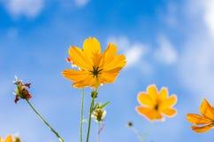 Gelbe Kosmosblume stockbild