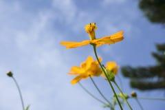 Gelbe Kosmosblume Stockbilder