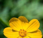 Gelbe Kosmosblume lizenzfreie stockfotos