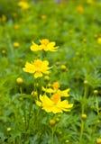 Gelbe Kosmosblume auf dem grünen Gebiet Stockbild