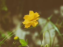 Gelbe Kosmosblume auf Naturhintergrund Abbildung der roten Lilie Lizenzfreies Stockbild