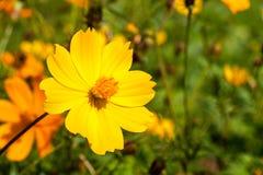 Gelbe Kosmosblume der Nahaufnahme auf dem Gebiet Stockfotos