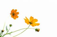 Gelbe Kosmosblume getrennt auf weißem Hintergrund Stockfotografie