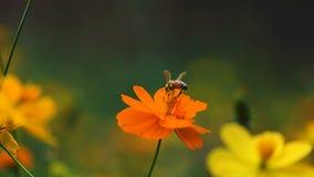 Gelbe Kosmosblume im Garten, Thailand stock footage