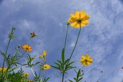 Gelbe Kosmosblumen Stockfoto