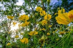 Gelbe Kosmosblumen auf flawer Gebiet und blauem Himmel morgens Stockbilder