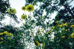 Gelbe Kosmosblumen auf flawer Gebiet und Sonnenlicht morgens Stockfotografie