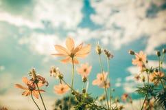 Gelbe Kosmosblumenweinlese lizenzfreie stockfotos