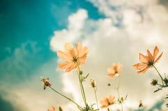 Gelbe Kosmosblumenweinlese lizenzfreies stockbild